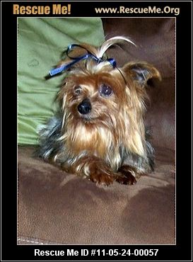 yorkie rescue arkansas little paws yorkie sanctuary rescue rogers ar 1012
