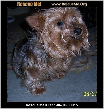 yorkie rescue arkansas little paws yorkie sanctuary rescue rogers ar 4228