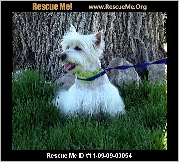 Westie Age: Young Adult