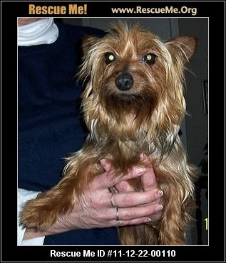 yorkie rescue arkansas little paws yorkie rescue rogers ar rescue animals 1134