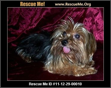 yorkie rescue arkansas little paws yorkie rescue rogers ar rescue animals 3853