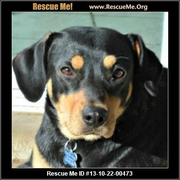 About The Temperament And Personality Of The Black And Tan Coonhound ... American Foxhound Strains