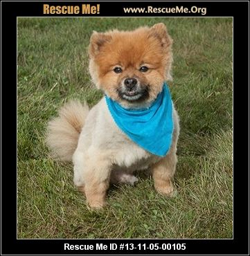 pomeranian rescue pa pawsitively pom rescue inc harrisburg pa rescue animals 5607