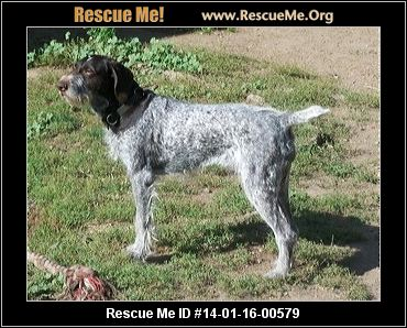 Ohio German Wirehaired Pointer Rescue ― Adoptions
