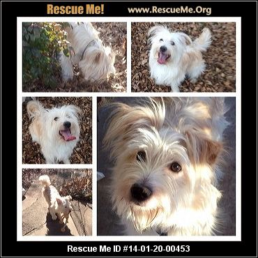 wheaten terrier rescue texas texas soft coated wheaten terrier rescue adoptions 4633