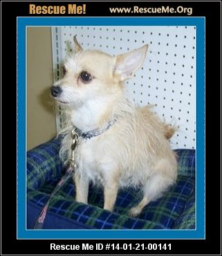 rescue me id 14 01 21 00141 banjo male chihuahua mix age young adult