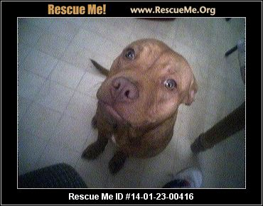 rescue me id 14 01 23 00416 jersey female pit bull age young adult