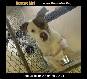 rescue me id 14 01 26 00108 lisa female american staffordshire terrier