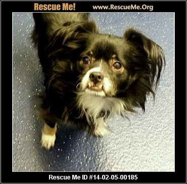 rescue me id 14 02 05 00185 schroeder male pekingese mix age puppy ...