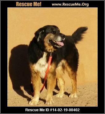 Bernese Mountain Dog Rescue Az