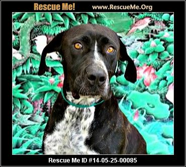 Florida German Shorthaired Pointer Rescue ― ADOPTIONS ― RescueMe ...