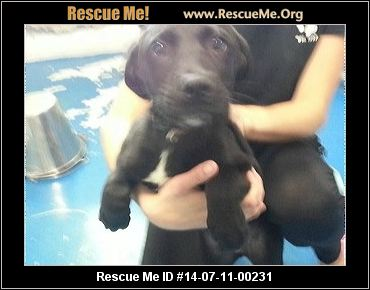rescue me id 14 07 11 00231 copper male lab mix age young puppy copper ...