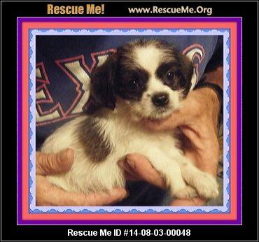 rescue me id 14 08 03 00048 tito male shih tzu mix age young puppy