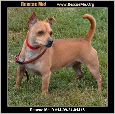 chihuahua rescue wisconsin wisconsin chihuahua rescue adoptions rescueme org 3721