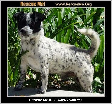 California australian cattle dog rescue adoptions rescueme org