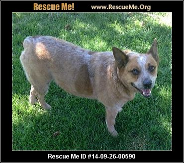 Queensland Heeler Rescue Central California Design | Dog Breeds ...