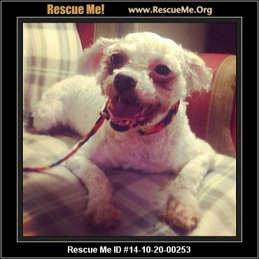 rescue me id 14 10 20 00253 penny female shih tzu mix age puppy