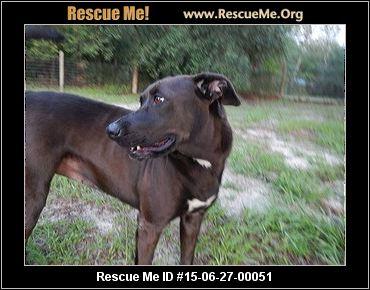 Chesapeake Bay Retriever Jacksonville Fl Rescue Me ID