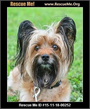 young adult yorkies for adoption