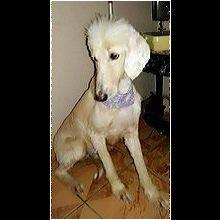 Texas Afghan Hound Rescue - ADOPTIONS - Rescue Me!