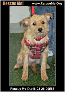 Cairn Terrier Rescue Texas