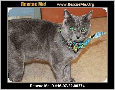 Cat for adoption - Sophie, a Russian Blue in Los Angeles ...