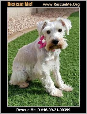 Arizona Schnauzer Rescue ― Adoptions ― Rescueme Org