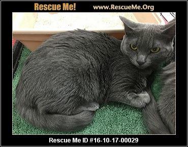 Rescue Me! Russian Blue Rescue - Home   Facebook