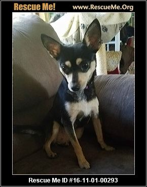 chihuahua rescue wisconsin wisconsin chihuahua rescue adoptions rescueme org 433