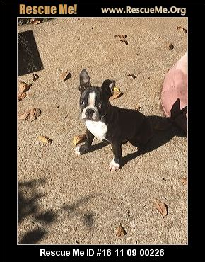 boston terrier rescue missouri missouri boston terrier rescue adoptions rescueme org 7902