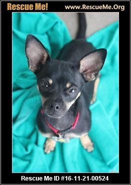 Arizona Chihuahua Rescue ― Adoptions ― Rescueme Org