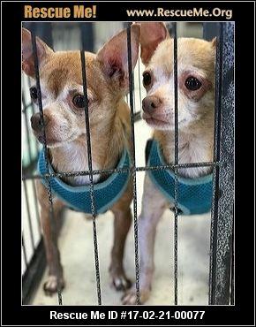 Flori-Bama Chihuahua Rescue - Pensacola, FL Rescue Animals