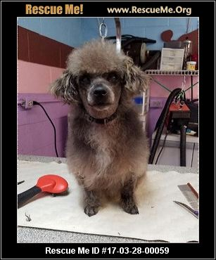 Poodle rescue gaffney sc