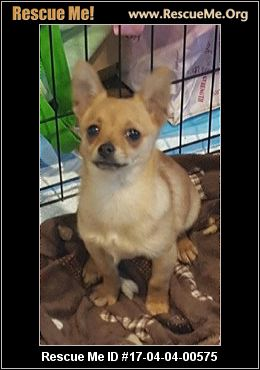 chihuahua rescue ct connecticut chihuahua rescue adoptions rescueme org 7557