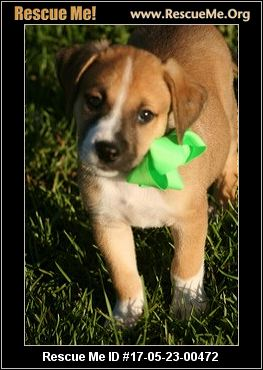 Adopt a golden retriever puppy atlanta