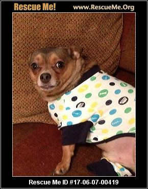 chihuahua rescue wisconsin wisconsin chihuahua rescue adoptions rescueme org 3667