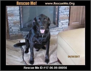 Golden retriever adoption westchester ny