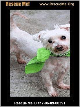 New Jersey Maltese Rescue ― Adoptions ― Rescueme Org