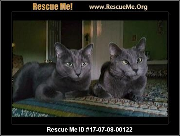Russian blue cat jacksonville fl