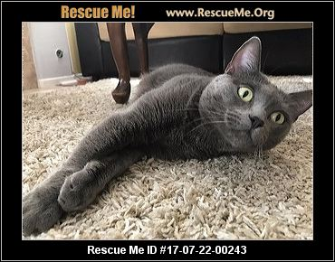 Russian Blues for Sale in Los Angeles   Cats on Oodle ...