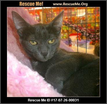 Russian Blue Cat Breed Profile   Petfinder