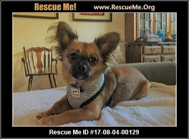 chihuahua rescue houston texas chihuahua rescue adoptions rescueme org 6023
