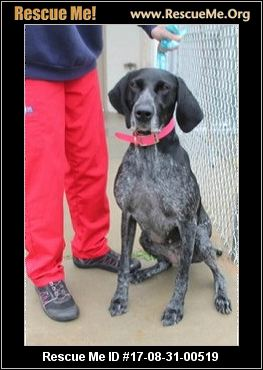 All About German Shorthaired Pointer Rescue Groups Kidskunst Info