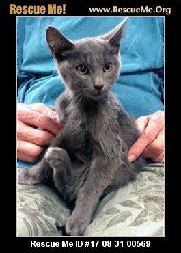 Russian Blue Cats for Adoption near Torrance, California ...