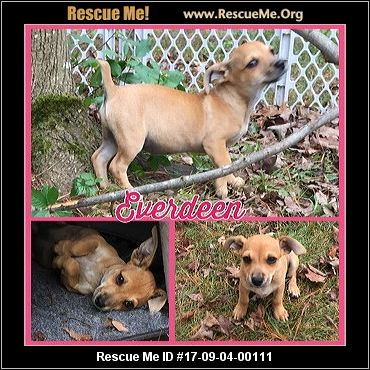 chihuahua rescue wisconsin wisconsin chihuahua rescue adoptions rescueme org 1666