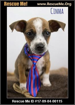 chihuahua rescue wisconsin wisconsin chihuahua rescue adoptions rescueme org 8861