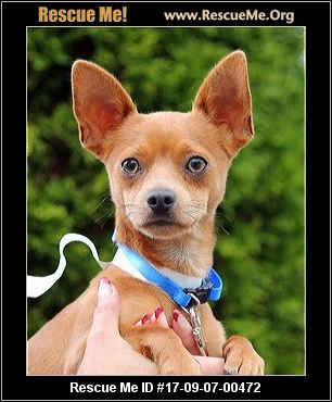 chihuahua rescue ny new york chihuahua rescue adoptions rescueme org 1117