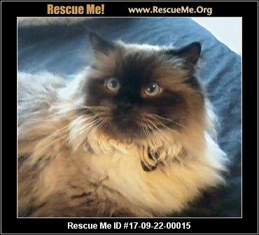 Himalayan cat rescue san diego