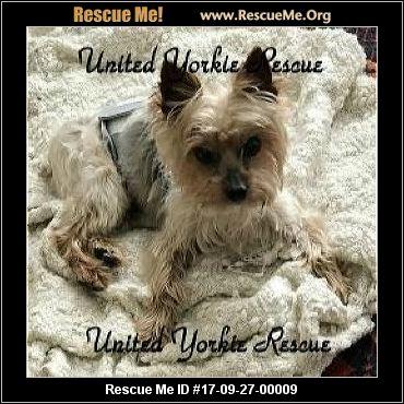 Texas Yorkie Rescue ― ADOPTIONS ― RescueMe.Org