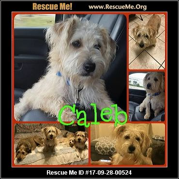 wheaten terrier rescue texas texas soft coated wheaten terrier rescue adoptions 7732